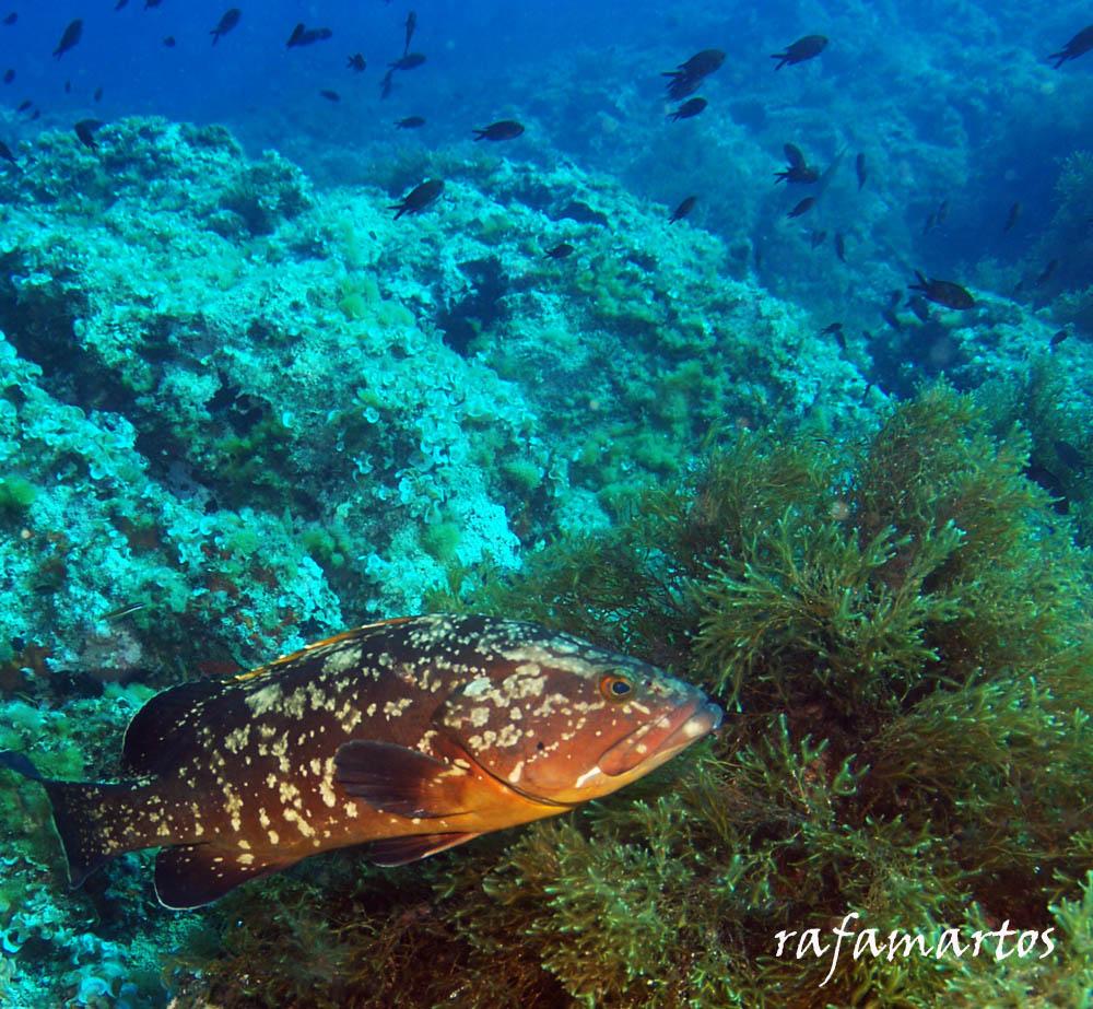 El mero mediterráneo | Buceo y Snorkel
