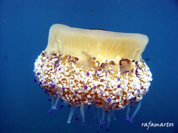 Medusas, la belleza del mar | Buceo y Snorkel