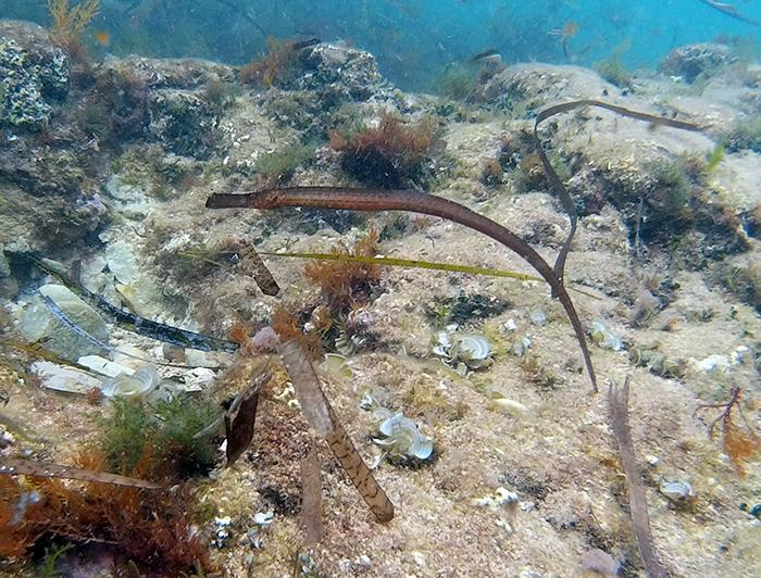 El pez que se disfraza de posidonia | Buceo y Snorkel