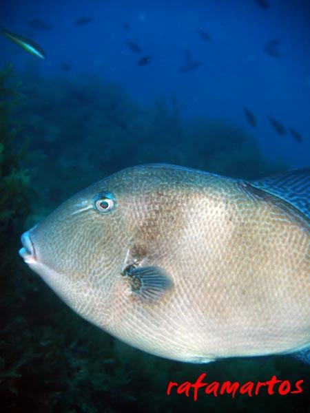 buceo con pez ballesta