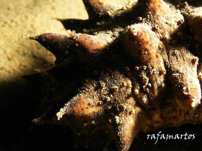 La holoturia o pepino de mar