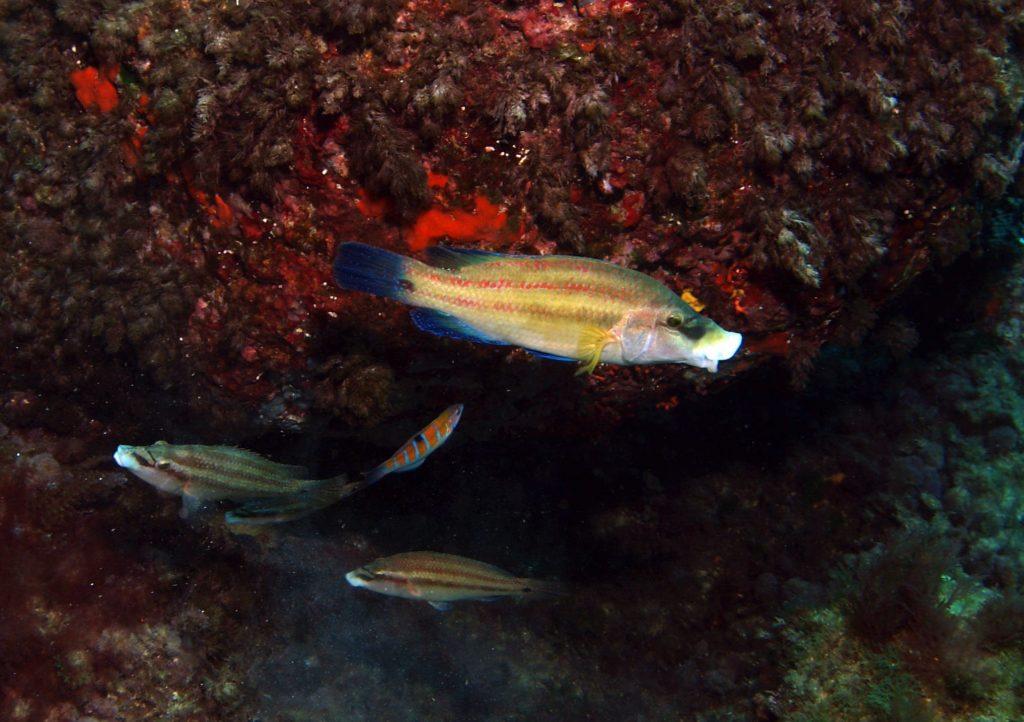 Los colores del pez tordo macho y hembra