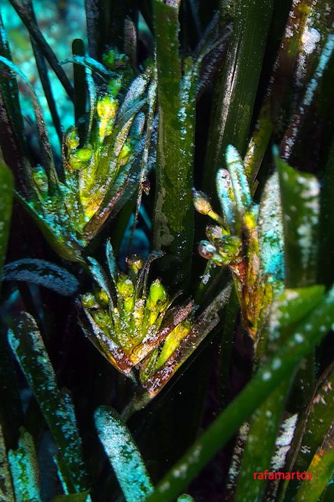flor de posidonia
