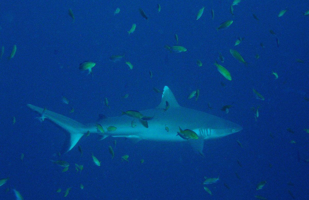 tiburones en Maldivas