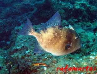 buceo con el pez ballesta