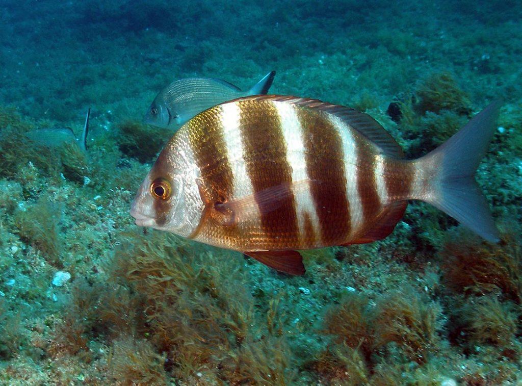 fauna marina sargos